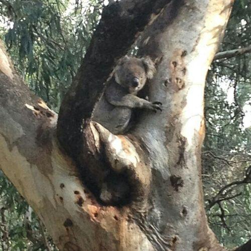 Koala time Koala In Tree Koala 🐨 GumTree