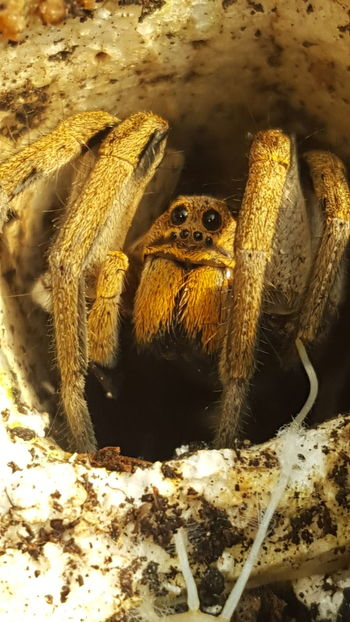 Araña Lobo. Wolf Spider.