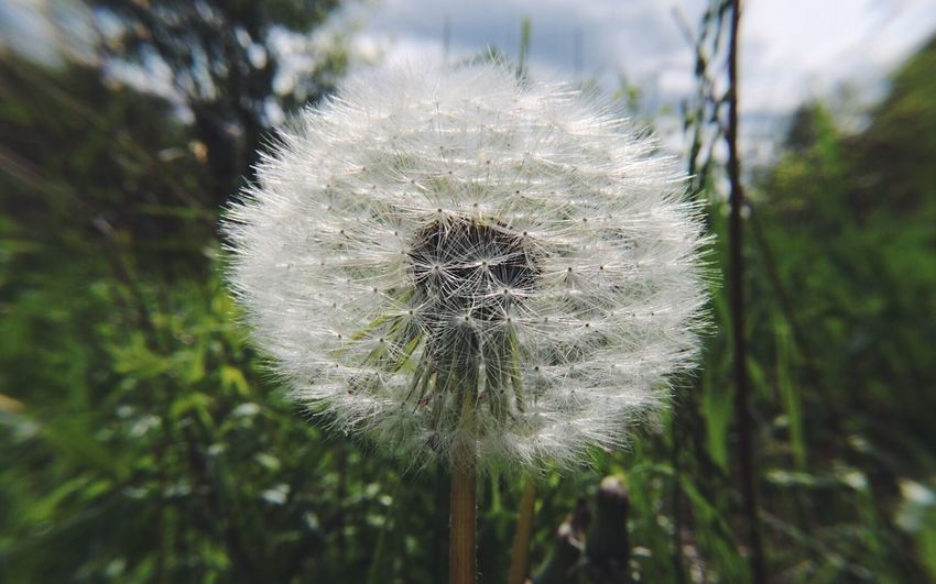 EyeEm Nature Lover Photooftheday EyeEm EyeEm Best Shots Popular Photos Spring Plant Flowering Plant Flower Dandelion Fragility Growth Vulnerability  Beauty In Nature Nature Freshness No People Softness Outdoors