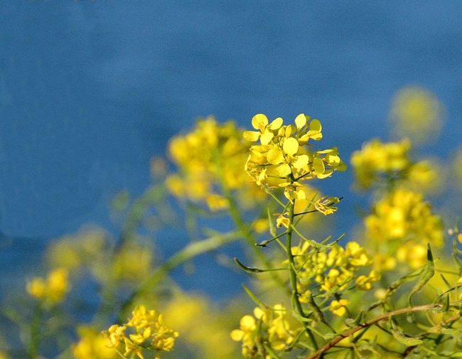 Close-up of oilseed rape blooming against sky