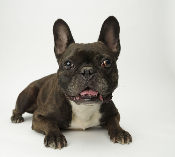Canine Close-up Dog Domestic Domestic Animals French Bulldog Full Length Indoors  Looking At Camera Mammal No People One Animal Pets Portrait Small Studio Shot Vertebrate White Background