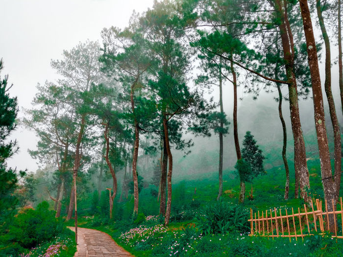 pine trees Nature Wallpaper Central Java INDONESIA Mobilephotography Tree Sky Grass Green Color Woods Countryside Growing Young Plant Blooming