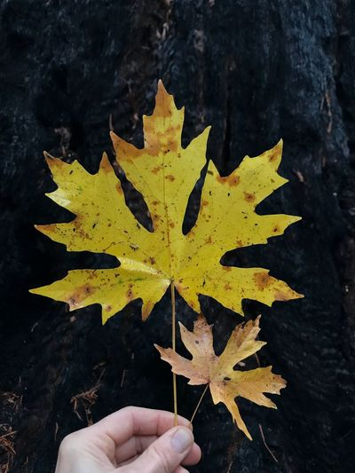 Yellow leaves against a fire blackened redwood tree Beauty Nature Autumn Redwood Trees Redwoods Human Hand Human Body Part Hand Plant Part Leaf One Person Holding