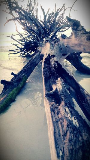 One of the many trees on Beer Can Island Whitney Beach Driftwood Long Boat Key Fl