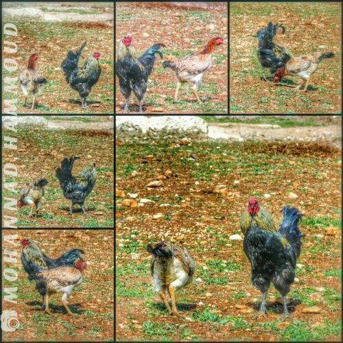 الديك و الدجاجة .. حكاية مشاورات ومراقبات ليتم اللقاء .. بس كشفني اخر شي عم صوّرهن وفشلت اللقاء :D هنا_حمص حمص Syria Homs