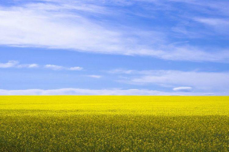 Rapsfeldshooting Rapsfeld Landscape Landscape_Collection Sky And Clouds Sunny Day Eye4photography  EyeEm Best Shots Uk Lemon By Motorola