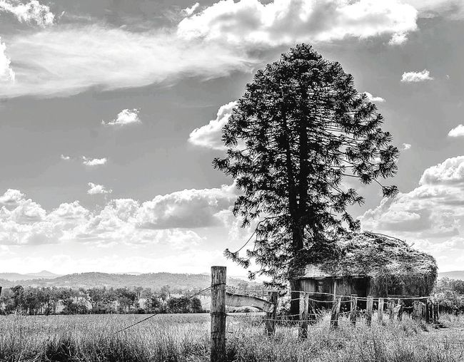 Tree Agriculture Sky Nature Rural Scene Social Issues Field Cloud - Sky Landscape Single Tree No People Outdoors Day Uniqueness Beauty In Nature Eyeemphotography Queen👑 Agriculture Relaxation Overtherainbow Blackandwhitephotography Scenics Emeyebestshot