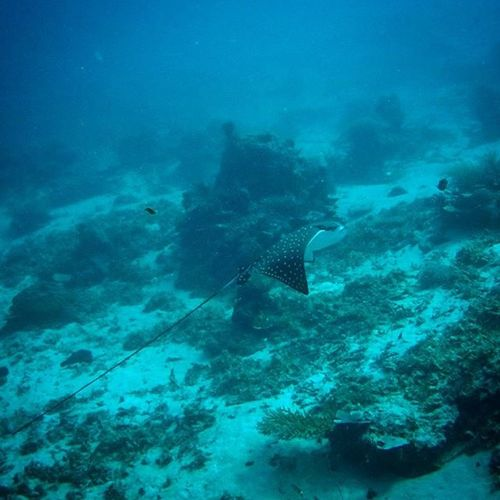 INDONESIA Bali Giliair Scubadiving Eagleray Majestic