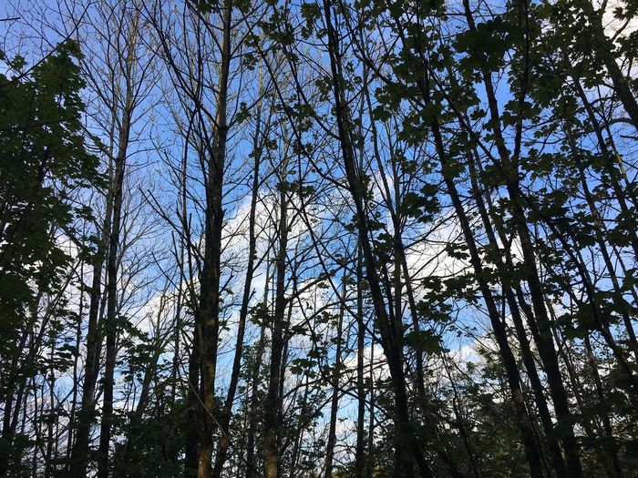 Trees in Scorrier Tree Area Tree Low Angle View Forest Growth Day Nature Outdoors Tree Trunk WoodLand No People Branch Sky