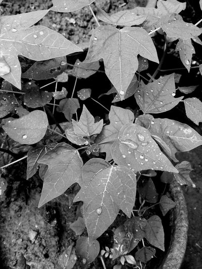 Rainy day Leaf Plant Growth Close-up Nature Beauty In Nature Honor5x This Week On Eyeem Garden Beauty In Nature Growth Growing Blackandwhite Monochrome New