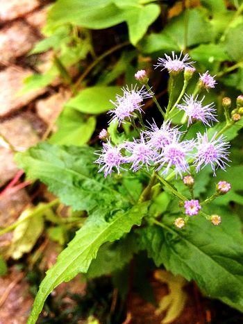 Taking Photos Flower Green Enjoying Life 今年1番の藤袴