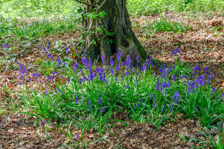 Cluster of bluebells in the wood, natural environment Bluebell, Flower, Blue, Spring, Environment, Natural, Beauty In Nature Day Environment, Natural, Cluster Field Flower Fragility Freshness Grass Green Color Growth Multi Colored Nature No People Outdoors Plant Purple Tree