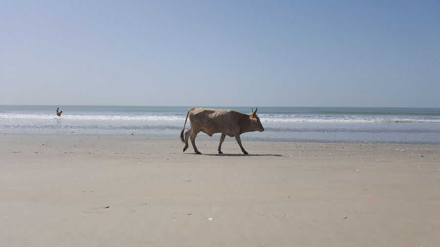 Cow On The Beach Animal Animal Themes Beach Clear Sky Day Domestic Domestic Animals Herbivorous Horizon Horizon Over Water Land Mammal Nature One Animal Outdoors Pets Sand Sea Sky Vertebrate Water A New Beginning