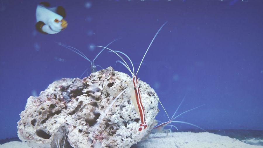 Aquarium Marine Fish Marine Shrimp Fish Tank Fish Marine Fish Blue Wave