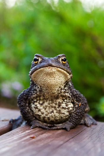 Common toad sitting on wooden pathway. Amphibian Animal Animal Themes Animal Wildlife Animals In The Wild Bufo Bufo Close-up Common Toad Day Focus On Foreground Garden Nature No People One Animal Outdoors Peaceful Sitting Summer Wildlife Wooden First Eyeem Photo