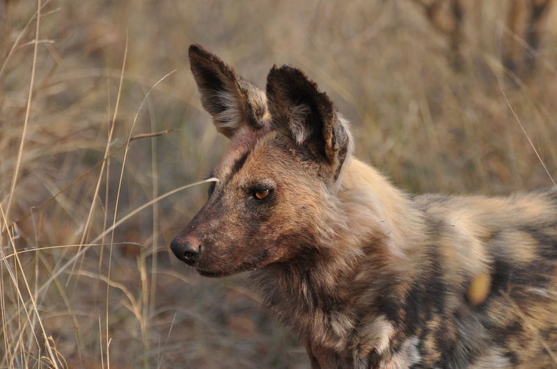 High Angle View Of Wild Dog On Field