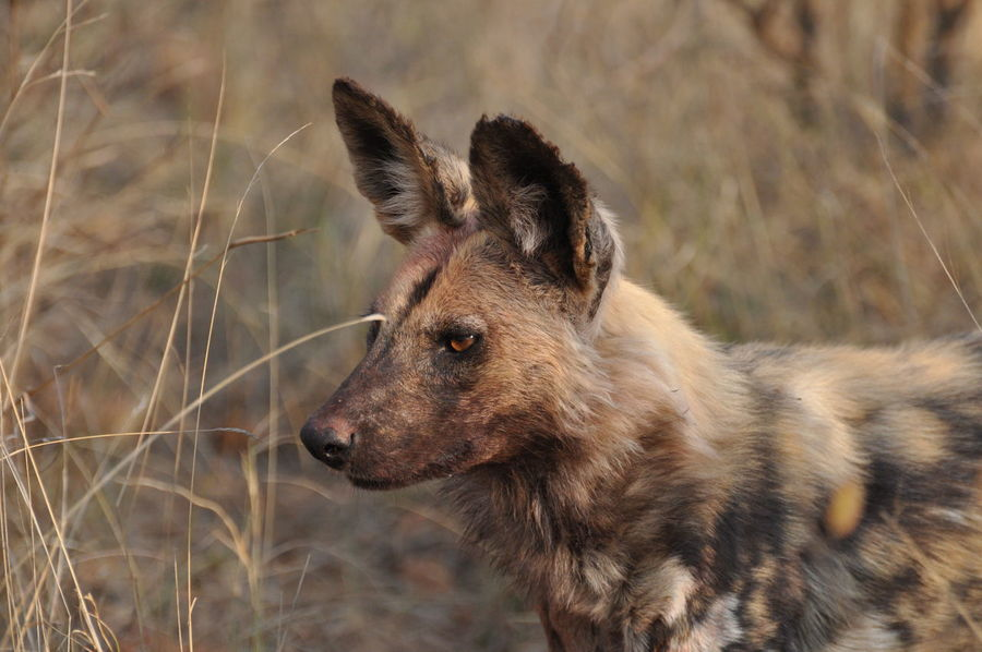 Closeup Madikwe Nature Nature Photography No People South Africa South Africa Is Amazing Wild Dog Wildlife Wildlife Photography Wildlife Photos