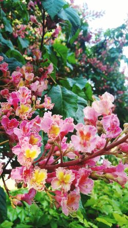 Flower Plant Beauty In Nature Nature Pink Color Outdoors Day Growth No People Fragility Freshness Close-up Flower Head Chestnut Flowers