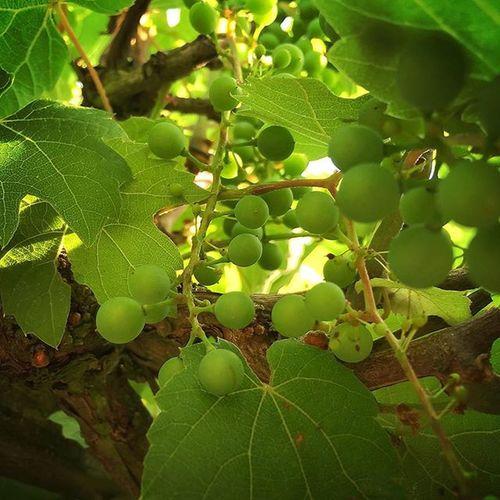 Wine Green Fruits Grapes Wein Trauben Enlight Babywein