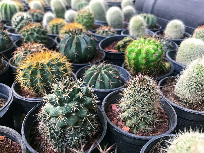 Ming Aralia leaves on background. Succulent Plant Cactus Thorn Potted Plant Plant Spiked Green Color Growth Sharp Barrel Cactus Day Nature High Angle View No People Beauty In Nature Close-up Sign Warning Sign Outdoors Communication Flower Pot Plant Nursery