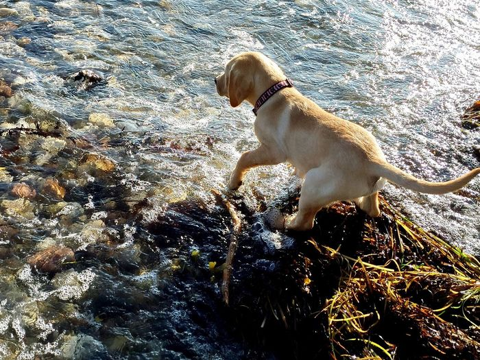 Animal Themes Day Dog Domestic Animals Golden Retriever Labrador Labrador Retriever Mammal Nature No People One Animal Outdoors Pets Puppy Water
