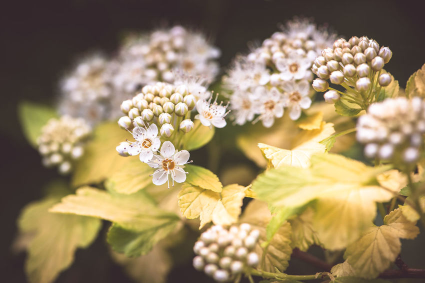 Beauty In Nature Bouquet Bunch Of Flowers Close-up Day Flower Flower Arrangement Flower Head Flowering Plant Focus On Foreground Fragility Freshness Growth Inflorescence Nature Ninebark No People Outdoors Petal Plant Pollen Selective Focus Vulnerability  White Color