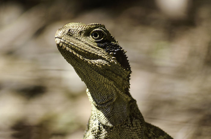Wildlife & Nature Wildlife Photography Animal Themes Animals In The Wild Nature Outdoors Reptile Waterdragon Wildlife