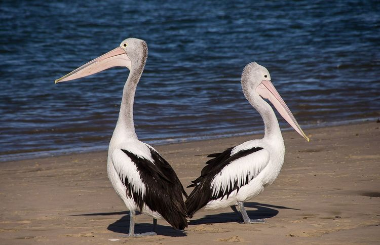 Animal Themes Animals In The Wild Beach Bird Day Nature No People Outdoors Pelican Sand Water