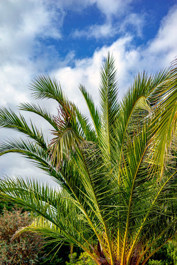 Sommer Sonne Hitze Ferien Palmen Himmel Wolken Plant Growth Palm Leaf Green Color Palm Tree Leaf Cloud - Sky Tree Nature Sky Tropical Climate Beauty In Nature No People Tranquility Day Outdoors Low Angle View Close-up Scenics - Nature Land