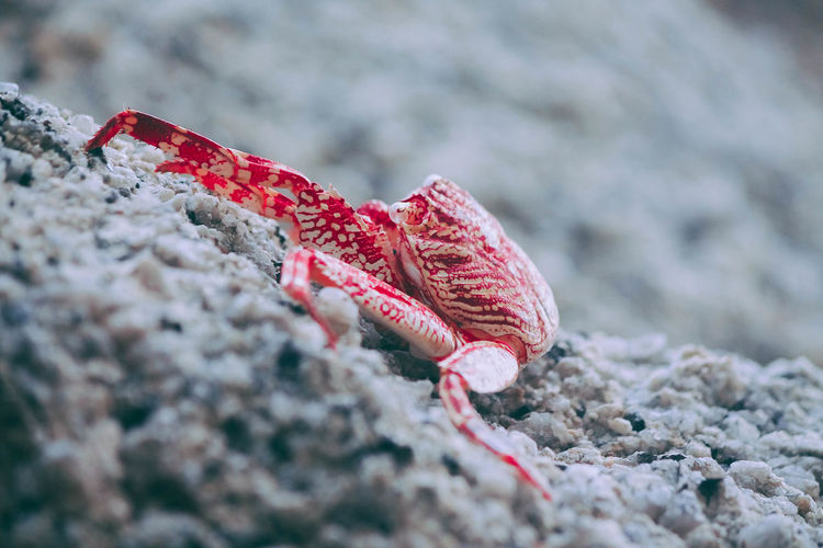 Close-up of red crab on sand