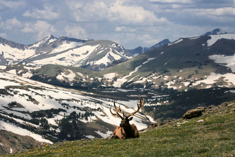 Bull elk with large antlers sit on mountain summit edge with snow hill. rocky mountain national park