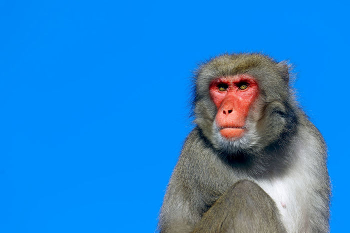 Animals Blue Macaca Monkeys Nature Pink Wild Wildlife