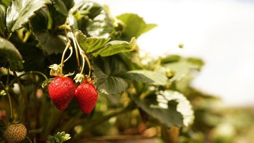 Strawberry picking... Fruit Red Healthy Eating Close-up Agriculture Food And Drink Berry Fruit Outdoors Growth Food Branch Freshness
