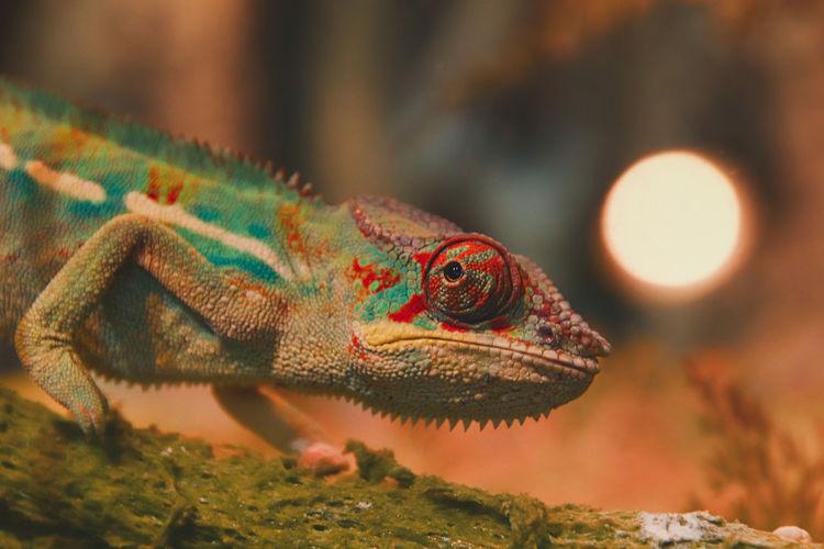 Panther chameleonfurcifer pardalis on a pet shop display in chatuchak market
