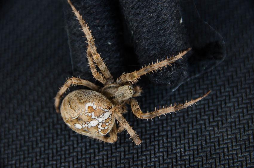 Dark Darkness Horror Spider Animal Themes Arachnid Arachnophobia Close-up Creepy Crusader Spider Danger Dangerous Spider Eight Legs Eyes Insect No People One Animal Predator Wildlife