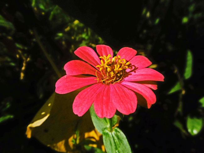 Flower Petal Fragility Plant Pink Color Flower Head Nature Day Outdoors No People Beauty In Nature Close-up Freshness Zinnia  Thailand🇹🇭 Red Flower ดอกบานชื่น Banana Flower