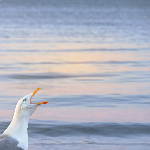 A seagull sings its song