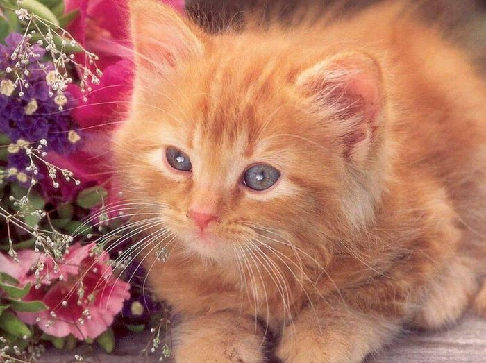 First Eyeem Photo Cat Domestic Cat Pets Domestic Animals Feline Whisker Mammal Animal Themes Animal Hair No People One Animal Flower Indoors  Ginger Cat Close-up Day Persian Cat  Love Rose - Flower EyeEm Nature Lover Landscape_Collection EyeEm Best Shots Beauty In Nature Kitten