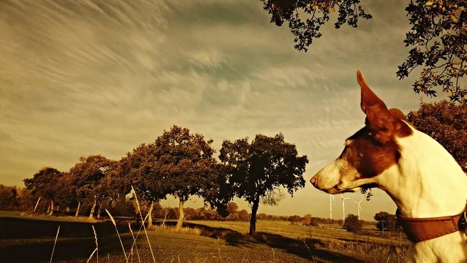 EyeEmNewHere No People Outdoors Day Nature Sky Tree Dog Love Podenco Ibicenco Ibizan Hound Favorite Time Of Day