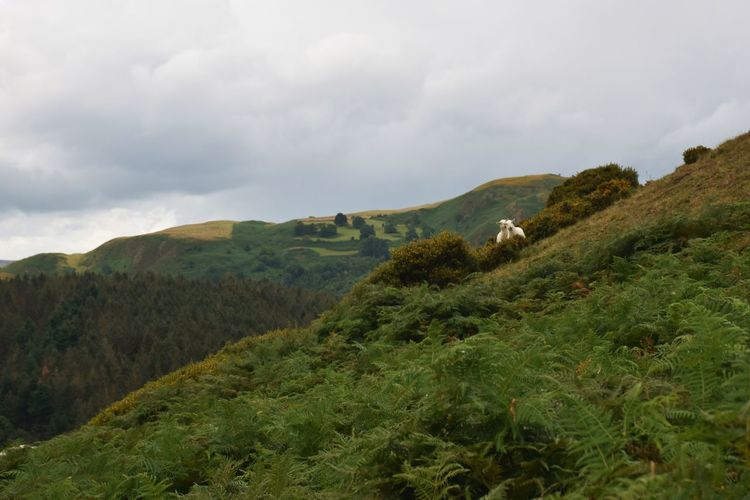 View of sheep in green landscape against sky. wales.