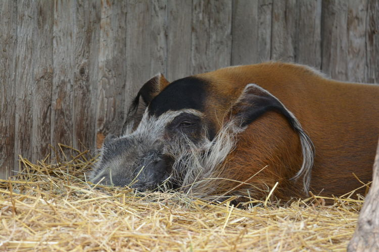 Close-up of a sleeping warthog