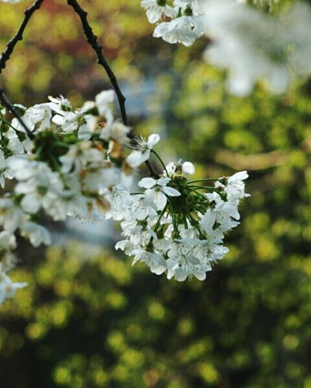 Springtime Flower Botany Tree White Color Nature No People Plant Outdoors Freshness Flower Head Cherry Tree Kirschbaumblüten Kirschbaum Sky Day Beauty In Nature Spring Frühling