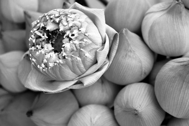 Flower Lotus Folded Flower Black & White Close-up ใน Thailand