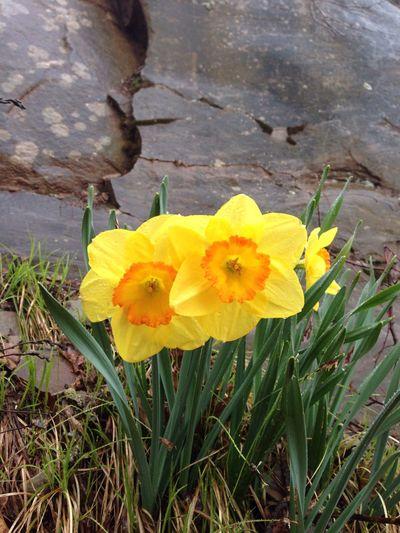Daffodils First Eyeem Photo