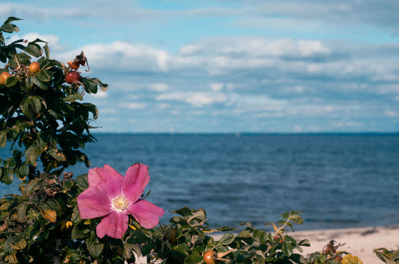 Close-up of pink flowering plant by sea against sky