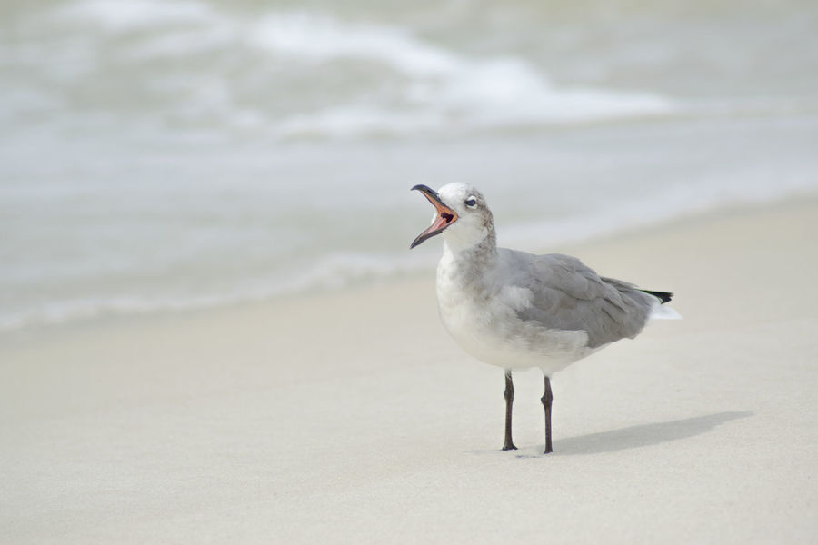 Animal Themes Animal Wildlife Animals In The Wild Beach Beauty In Nature Bird Bird Call Close-up Focus On Foreground Nature No People One Animal Outdoors Sand Sea Shore Shoreline