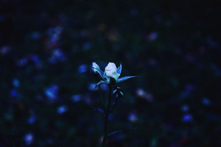 Photography Flowers Fragility Alone Flou Nikon D5300 Passion Roses🌹 Whiteandblue Nature Art Darkness Gothic Style Dark Beauty In Nature