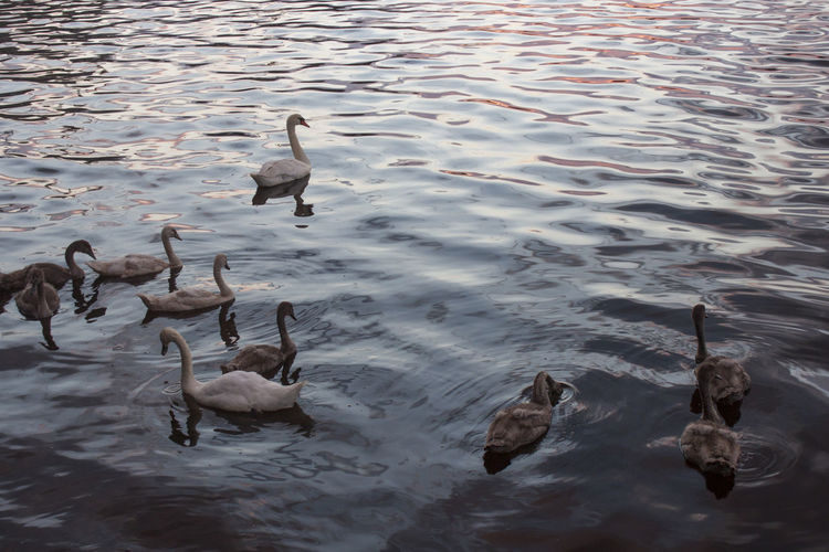 Swans Water