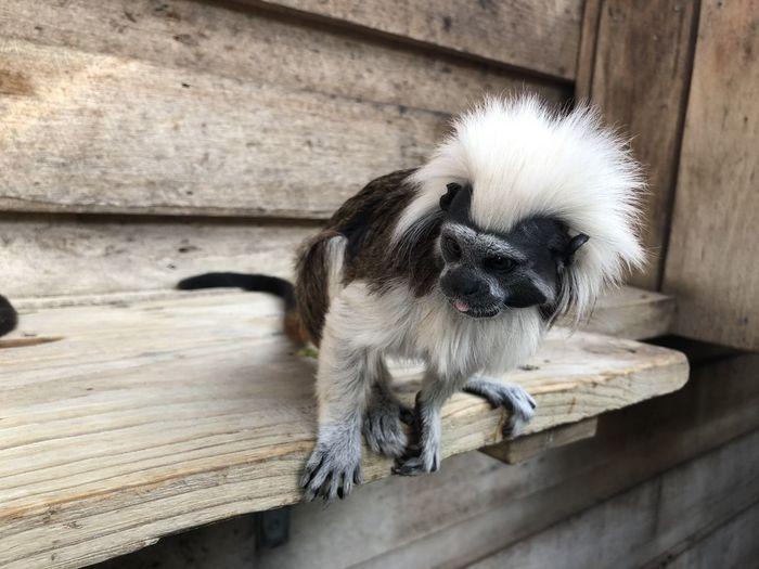 Mammal Monkey Zoo Animal Cotton Top Tamarin Animals In Captivity Primate Small Monkey
