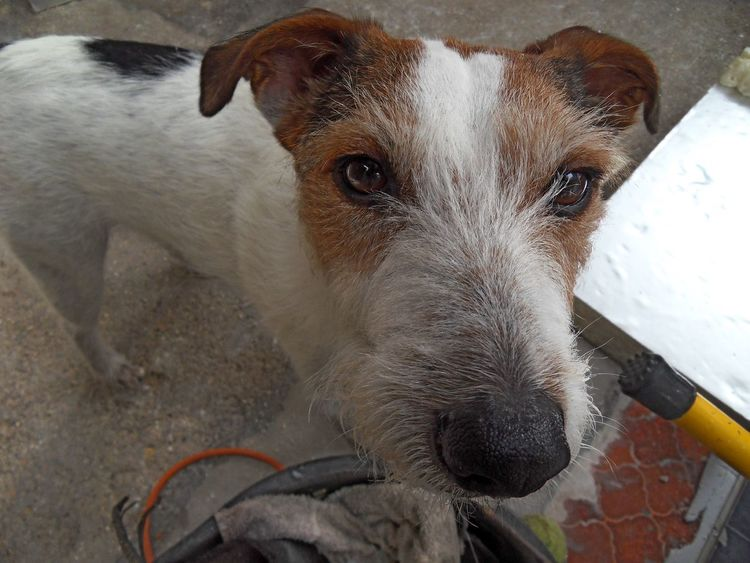 This is Alfy - he's my mate at the job I'm working on. Super fun little dog. ;-) Alfy Animal Head  Animal Nose Animal Themes Close-up Day Dog Domestic Animals Friend Friends Friends ❤ Jack Russell Looking At Camera Mammal Messy No People One Animal Outdoors Pet Photography  Pets Pets Corner Pets Of Eyeem Portrait Snout Terrier